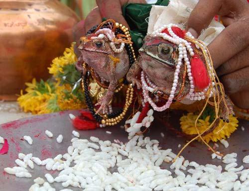 In India anche le rane si sposano.