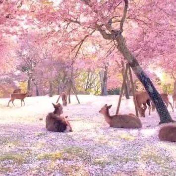 Cronache dal Giappone. La Sakura dei cervi.